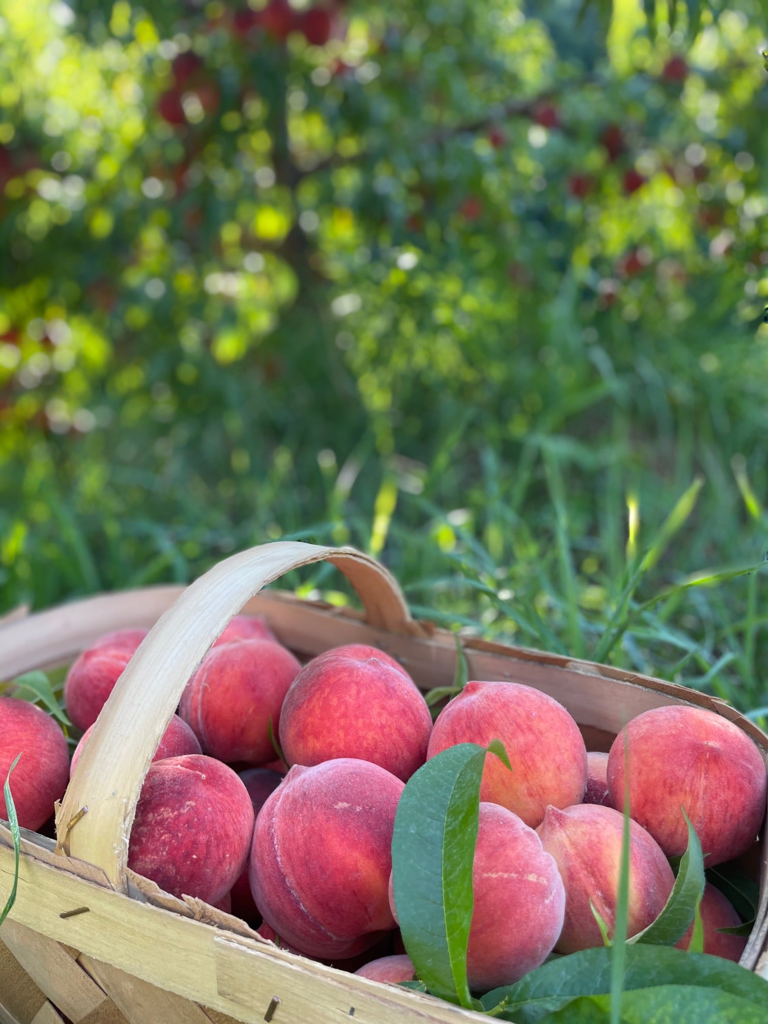 basket of fresh picked peaches